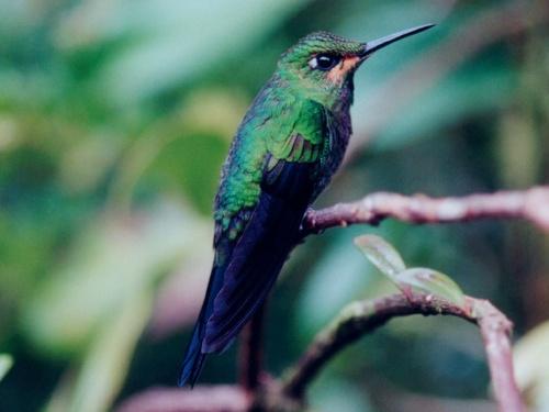 Humming Bird,Wallpaper