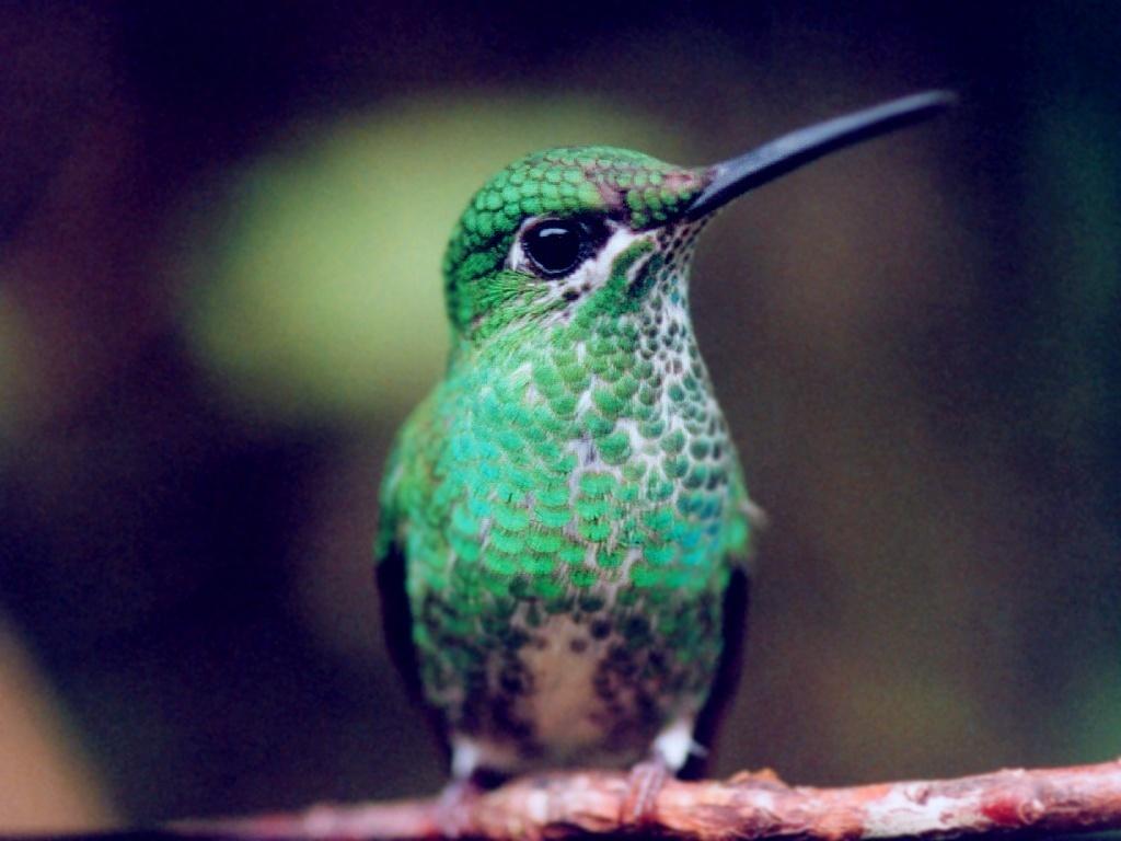 Hummingbirds Wallpaper