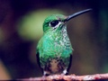Humming Bird,Wallpaper