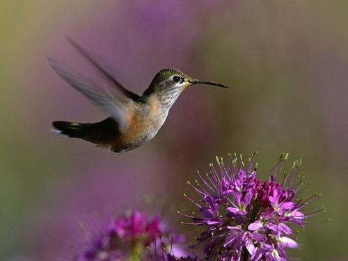 Humming Bird,Wallpaper - hummingbirds Wallpaper