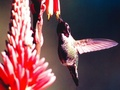 Humming Bird Wallpaper - hummingbirds wallpaper