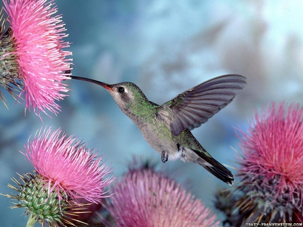 Bird Wallpaper Free: Hummingbird Wallpaper