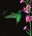 Humming Bird - hummingbirds photo