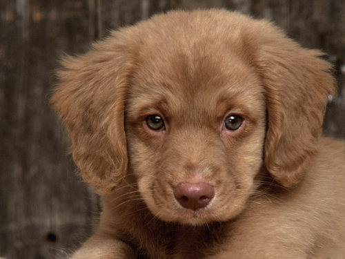 Sad Puppy - puppies Wallpaper