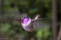 The Beautiful Humming Bird