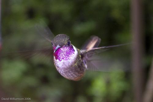 The Beautiful Humming Bird
