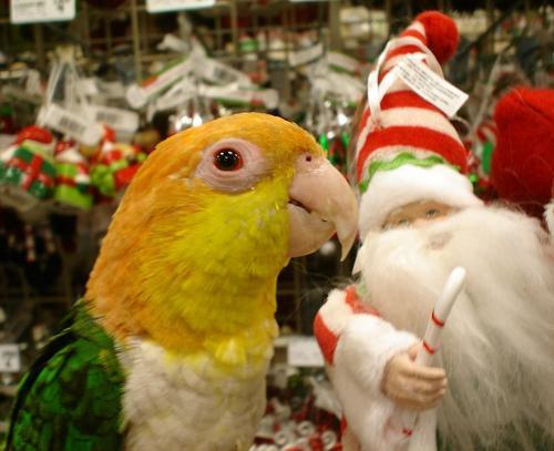 The Krismas nuri, burung nuri