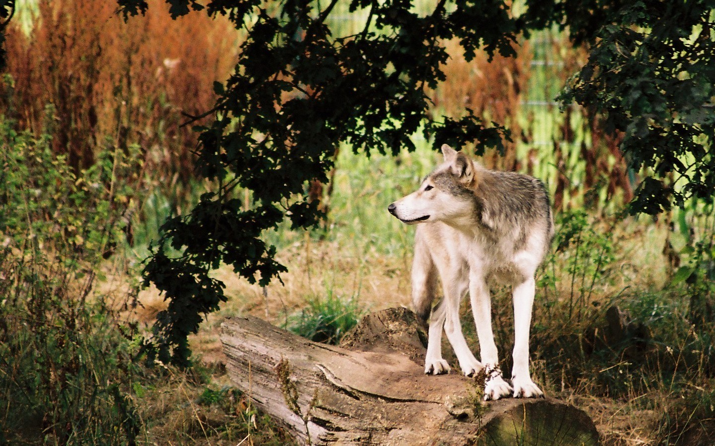 wolves wallpapers wolves wallpaper 9705432 fanpop