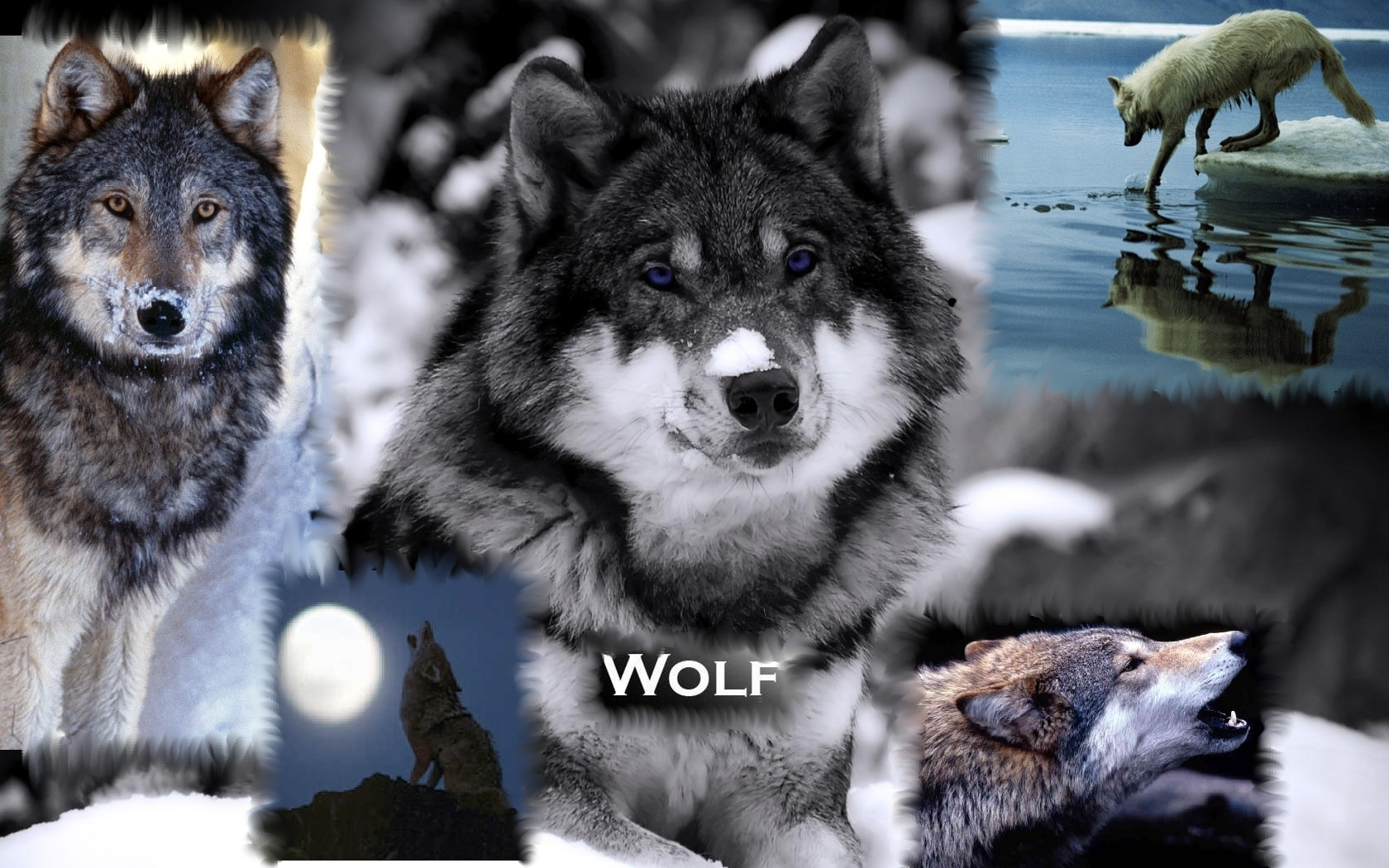 wolves wallpapers wolves wallpaper 9705475 fanpop