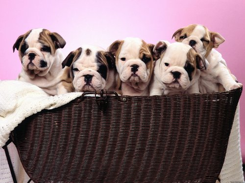 Wrinkly Puppies - puppies Wallpaper