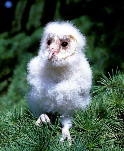 Fluffy Chick