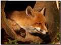 Fox in a log