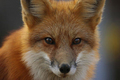 Foxy Face - fox photo