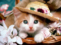 She's A Lady - cute-kittens wallpaper