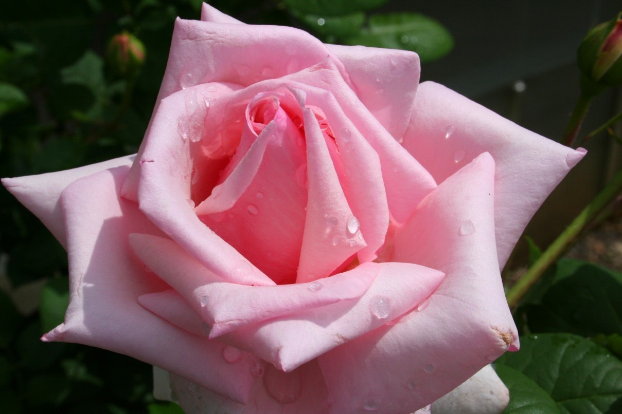 pink rose in - photo #3