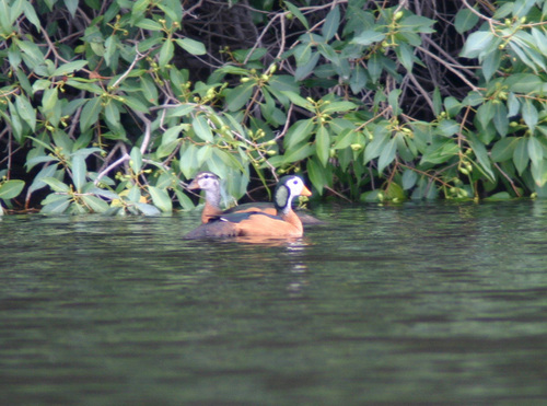 Pygmy Geese Swimming