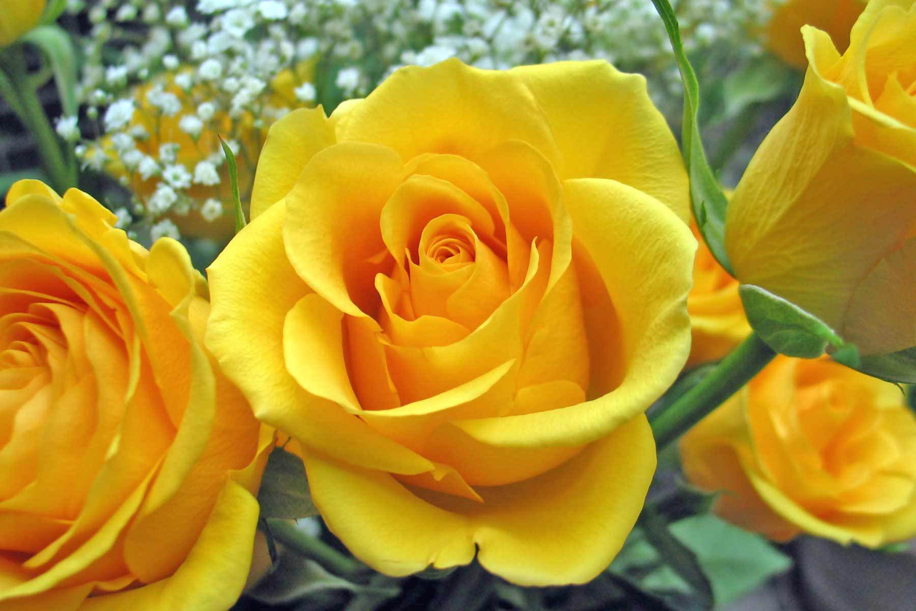 Roses Images Yellow Roses Hd Wallpaper And Background Photos 9842259