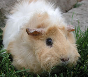 Guinea Pigs wallpaper titled guinea pigs