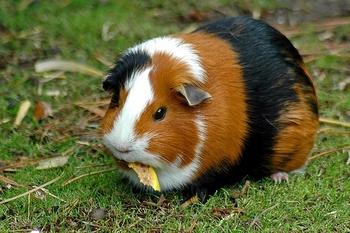 Guinea Pigs wallpaper entitled guinea pigs