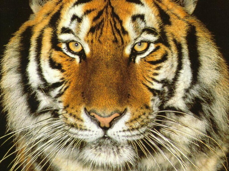 Big Cats Images Cat Wallpaper Hd Wallpaper And Background Photos