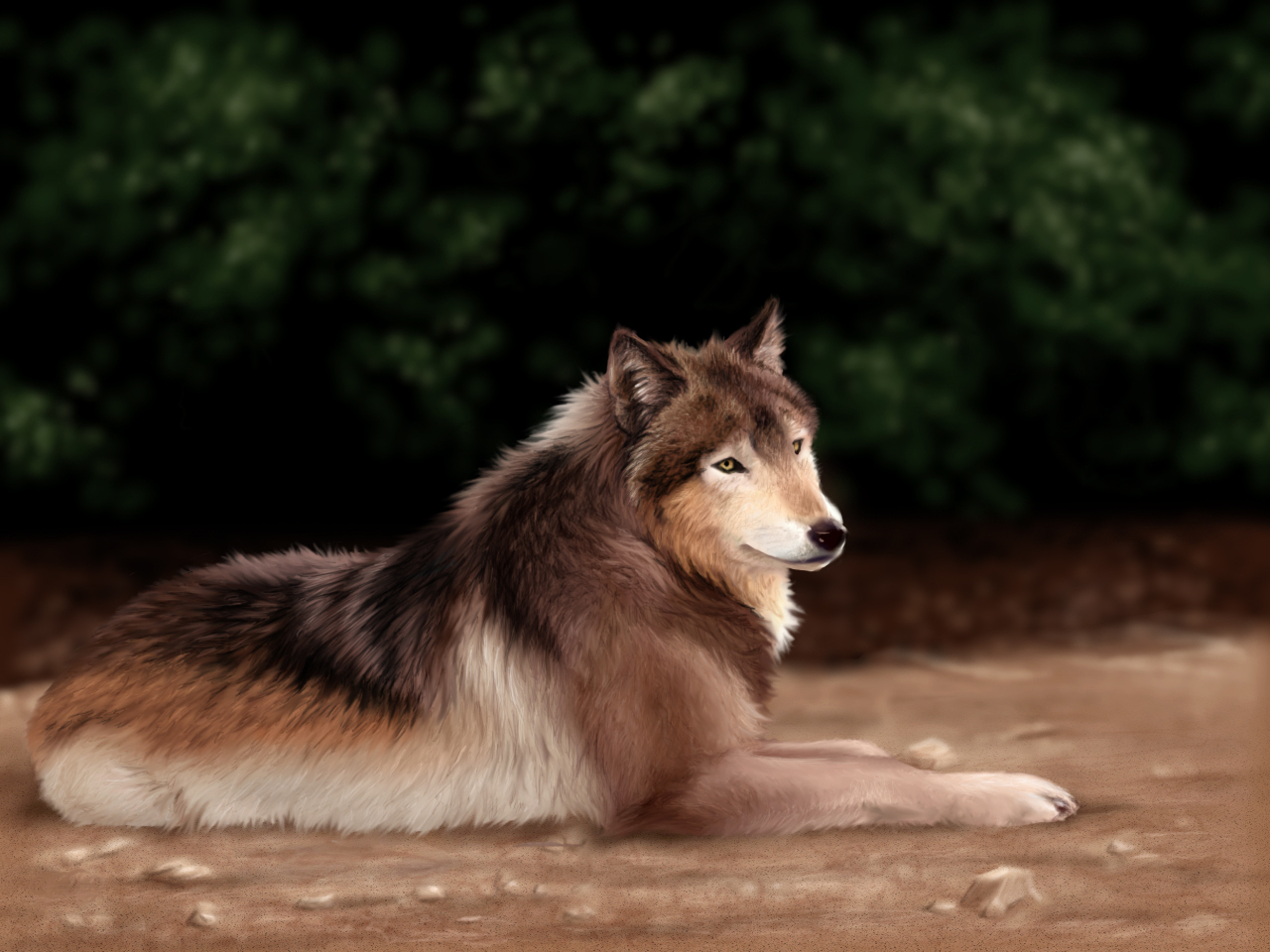wolves images lying wolf hd wallpaper and background