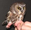 Northern Saw-Whet Owl - owls photo