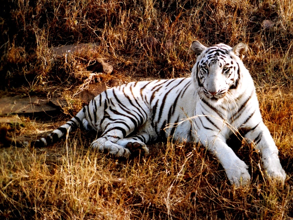 Cute White Tigers