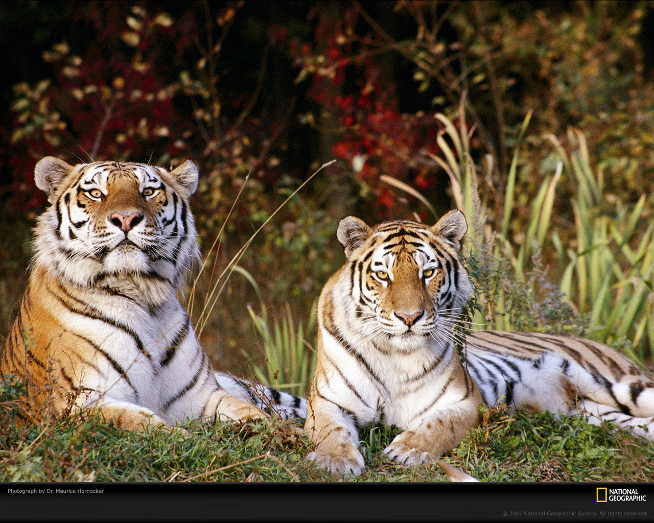 Big Cats Tigers