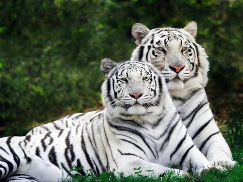 Tiger wolpeyper
