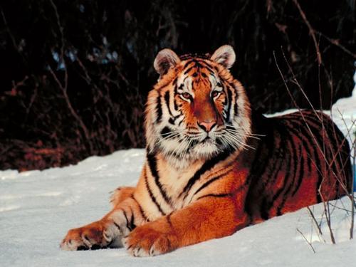 Tiger fondo de pantalla