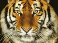 Tiger Wallpaper - tigers wallpaper