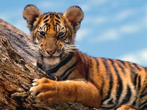 Tiger 壁纸