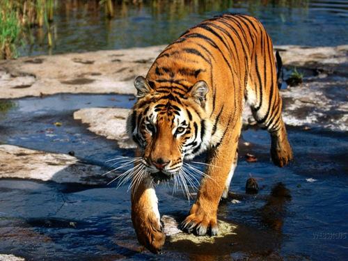 Tiger hình nền