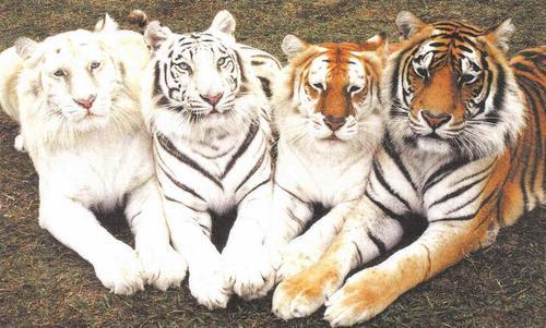 Tiger fond d'écran