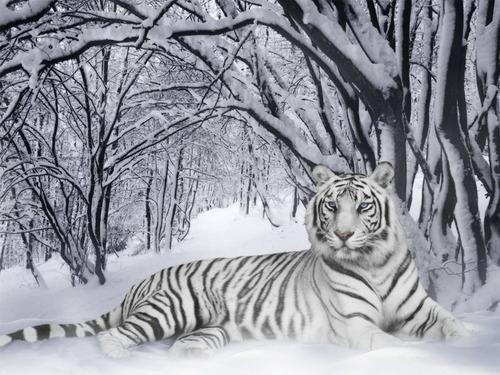 Tiger 바탕화면