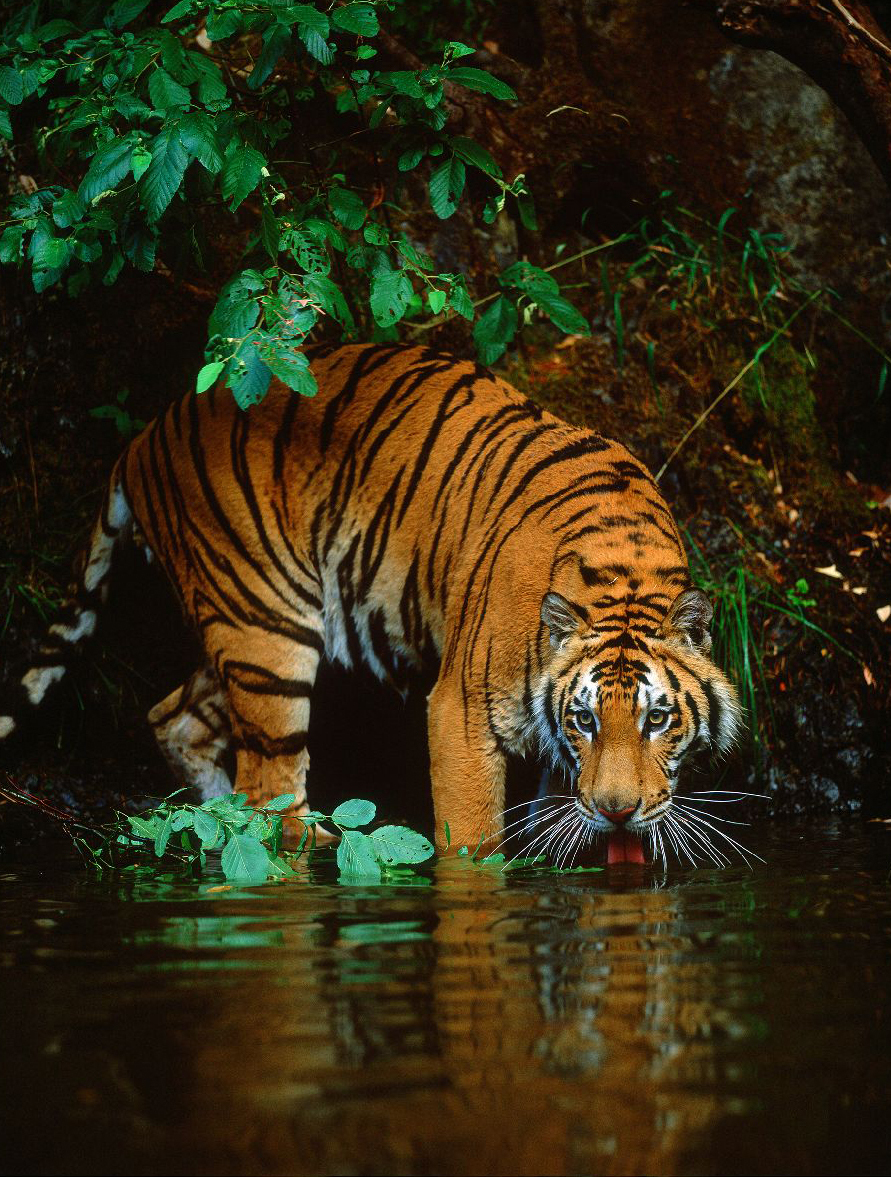 Big Cats Images Tiger Hd Wallpaper And Background Photos 9998710