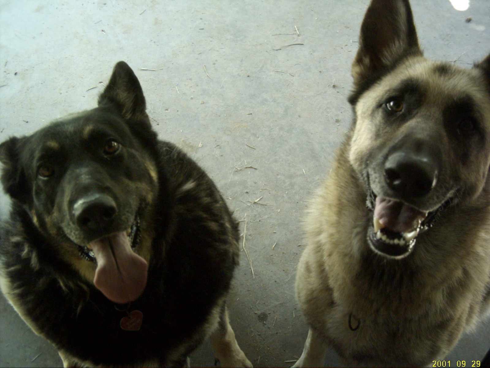 Is your German Shepherd confused? Poll Results - German ...
