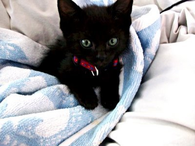 what do u think of black cats? Poll Results - Cute Kittens ...