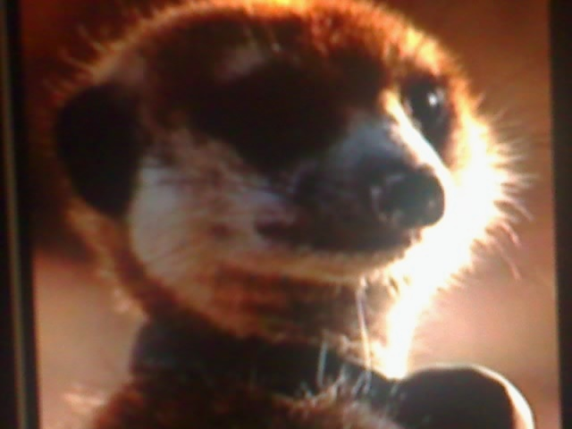Meerkat Manor  Who will lead the Whiskers  YouTube