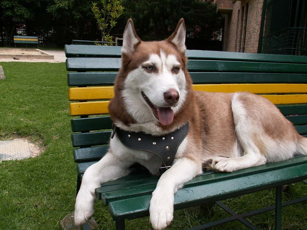 What Colouring Of The Siberian Husky Do You Like Best Siberian