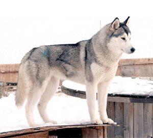 White And Grey Siberian Husky