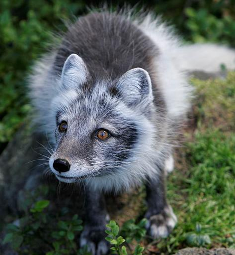 arctic fox by rebekah mackinnon The select committee regarding the risks and benefits of hydraulic fracturing was established by order of the legislative assembly on may 6, 2013 (motion no 433.