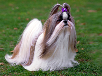 Shih Tzu: Long or Short Haired? Poll Results - All Small Dogs - Fanpop