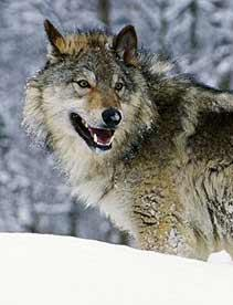Wolves what s your favourite wolf species and sub species