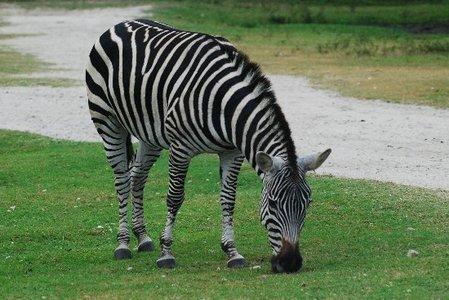 True oder False: No two zebras have the same pattern.