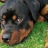 True or false: In most parts of Europe docking of rotties tails is illegal.