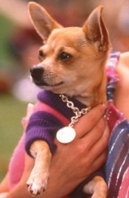 What is this Chihuahuas name ?