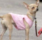 Which celeb owns this chihuahua ?