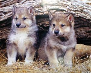How old are wolf pups when they usually leave the den?
