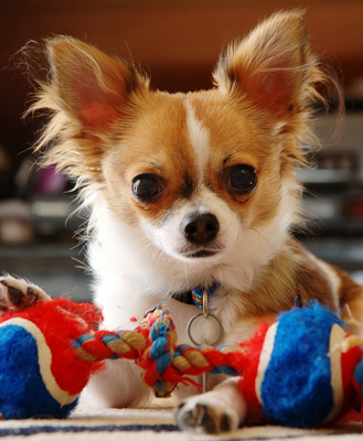 What medical condition can Chihuahuas be prone to?